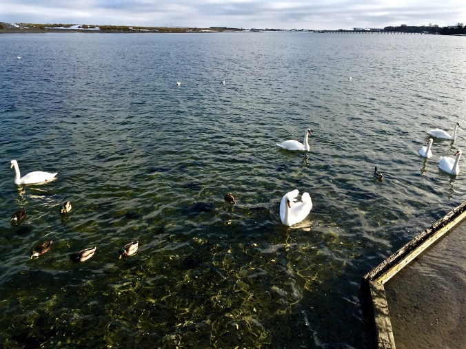 Swans_Ducks