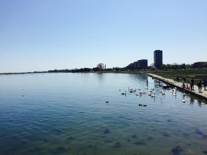 Beach_Swans