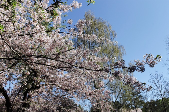 Blossoms_tree_beautiful