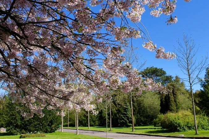 Blossoms_tree_sky