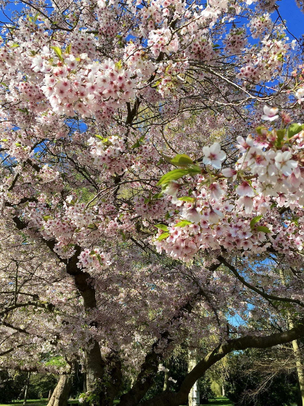 Blossoms_up close