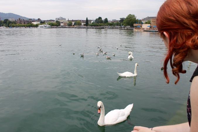 zürich_zürichsee_swans