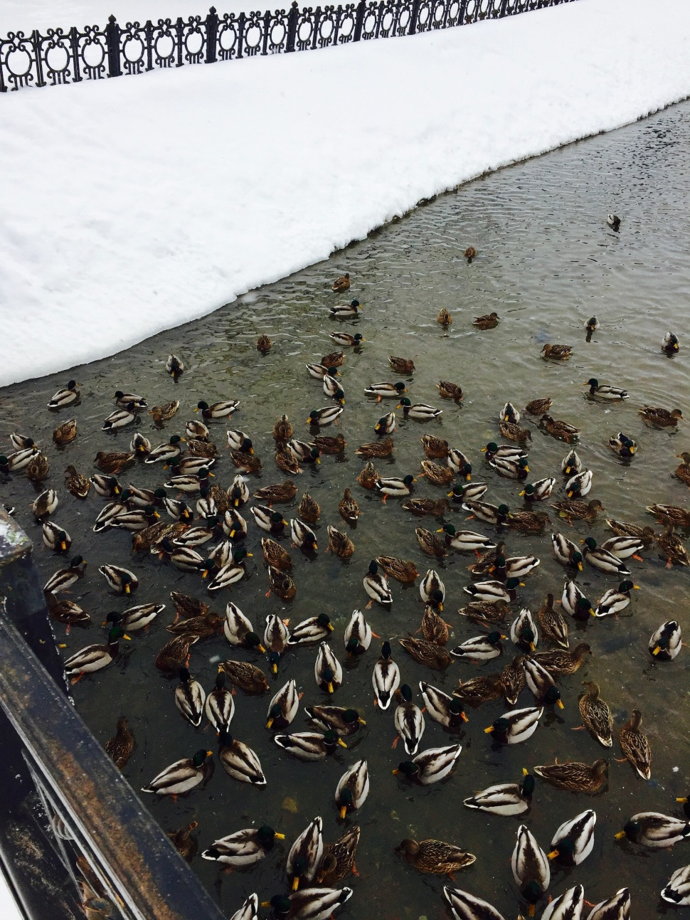 sergiev-posad_city-walk_ducks