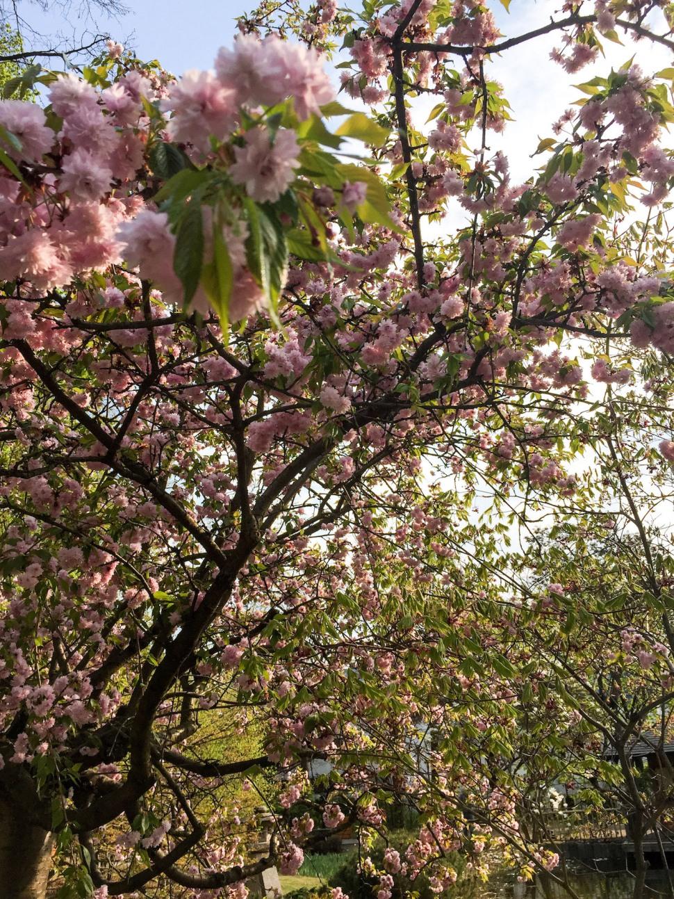 Setagayapark_vienna_pink_2