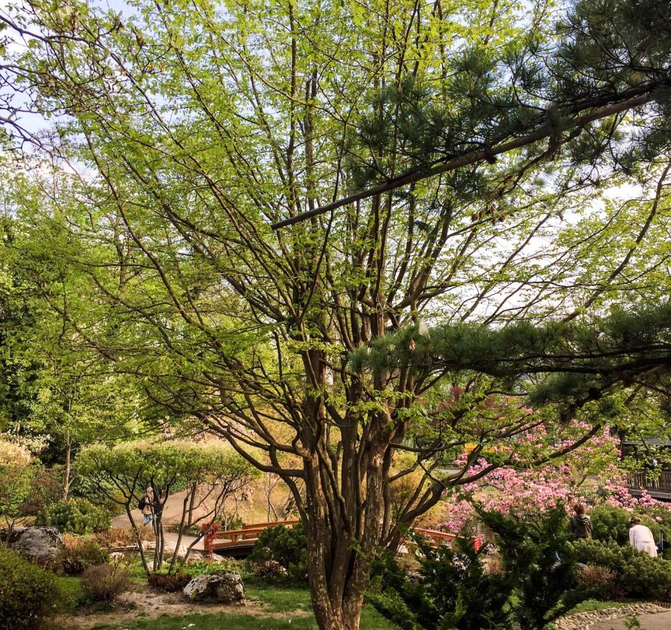 Setagayapark_vienna_tree_green
