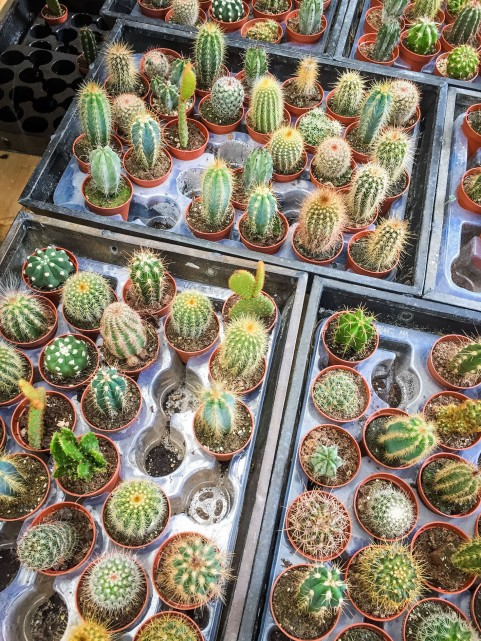 Amsterdam_market_flower_cacti
