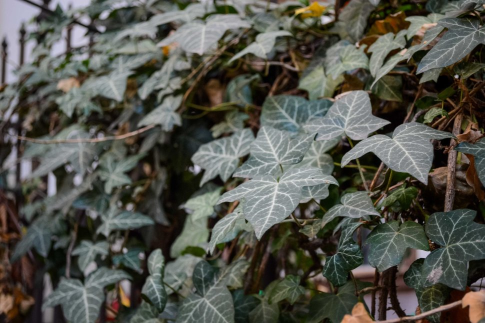 Autumn_Detergent_all-natural_ivy_house_leaves