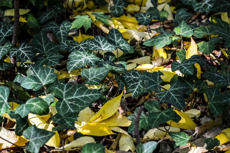 Autumn_Detergent_all-natural_ivy_leaves