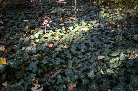 Autumn_vienna_liechtenstein-park_nature_ivy