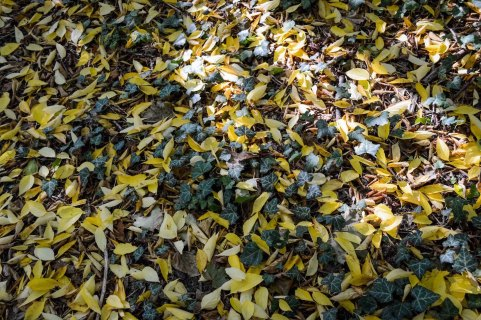 Autumn_vienna_liechtenstein-park_nature_yellow_ivy